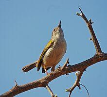 Displaying Bleating Warbler by Paul Watkins