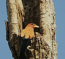 Broad Billed Roller investigating new home by Paul Watkins