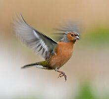 Chaffinch ~ In flight by Margaret S Sweeny