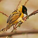 Southern Masked Weaver busy constructing nest by Paul Watkins