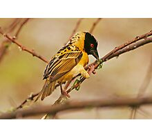 Southern Masked Weaver busy constructing nest Photographic Print