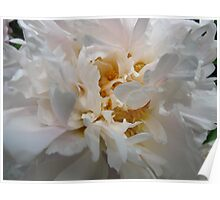 Frilly Peony Poster
