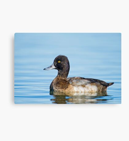 Approachable Scaup Canvas Print