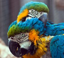 Parrot couple by Evogance