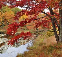 MapleTree In Autumn by Stephen Vecchiotti