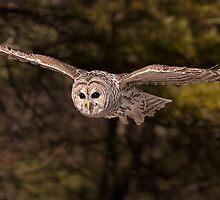 In Flight 3 / Barred Owl by Gary Fairhead