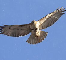 Chances of a Red-tailed Hawk and a few flurries by Alinka