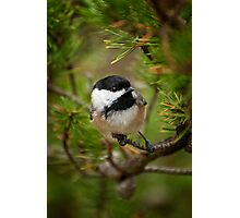 Black Capped Chickadee on Pine Photographic Print