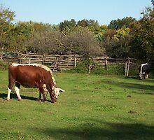 Landis Valley Oxen 1 by purplefoxphoto