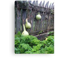Landis Valley Gourds in the Garden II Canvas Print