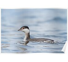 Horned Grebe - different individual. Poster