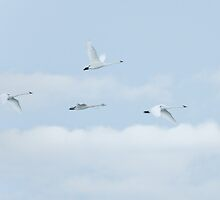 Trumpeter Swans by Wayne Wood