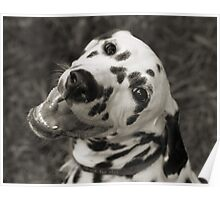 Dotty the Dalmatian Poster