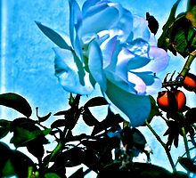 Blue White Rose by Christine Chase Cooper