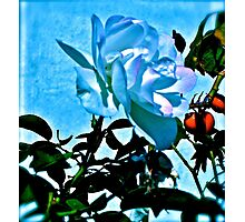 Blue White Rose Photographic Print