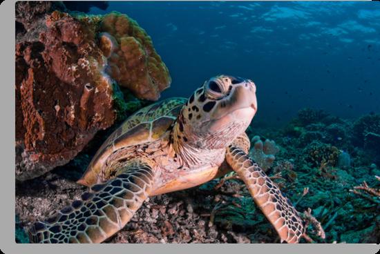 Green Turtle, Sipadan, Sabah, Malaysia by Erik Schlogl