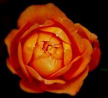 Orange rose by Karen  Betts