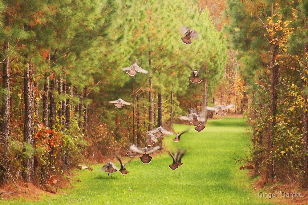 Turkeys In Flight by Ginger  Barritt