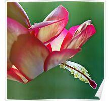 Epiphyllum Cactus Flower Poster