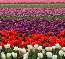 Skagit Valley Tulips by Debbie Stika