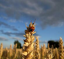 Ladybug in Wheat Field by Irina777