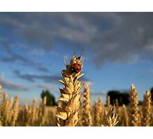 Ladybug in Wheat Field Photographic Print