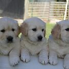 The Golden Retriever Club Of Victoria Inc by GRCVINC