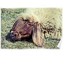 Sleeping Sheep Poster