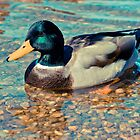 Swimming Duck by Liev