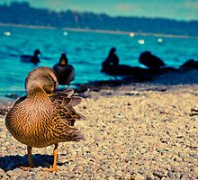 Ducks by Waterfront by Liev