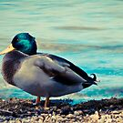 Duck 4 by Liev