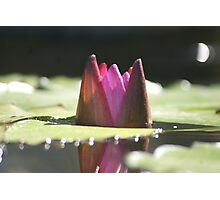 purple water lily@koi pond Photographic Print