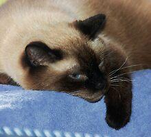 My 4 Cats # 3   .. Zeus by Elaine  Manley