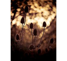 Teasels Photographic Print