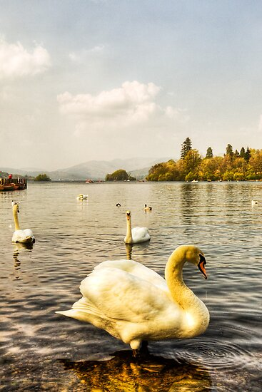 Windermere Swan by Paul Thompson Photography