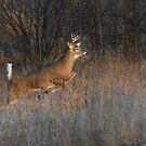 Buck on the Run - White-tailed Deer by Jim Cumming