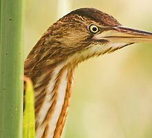 Little Bittern at very close quarters by Paul Watkins
