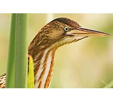 Little Bittern at very close quarters Photographic Print
