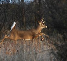 Flight of Fancy - White-tailed Deer by Jim Cumming