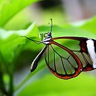Hanging Around Glasswing - Greta oto by Lepidoptera
