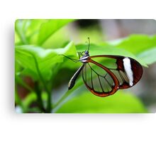 Hanging Around Glasswing - Greta oto Canvas Print