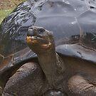 Giant Tortoise by yewenyi