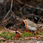 Robin in Autumn - card by ©FoxfireGallery / FloorOne Photography