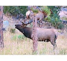 Bull Elk Bugling Photographic Print