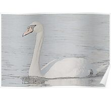 Mute Swan at Esquimault Lagoon Poster