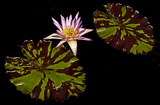Purple Waterlily, two leaves by cclaude