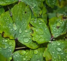 Wet Leaves by evisonphoto