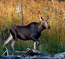 Maine Moose, yearling bull by Enola-Gay Wagner