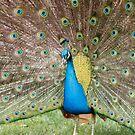 Peafowl by Daniel Rankmore