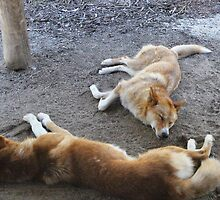 Dingoes (Nap time) at Healesville Sanctuary by sarbi